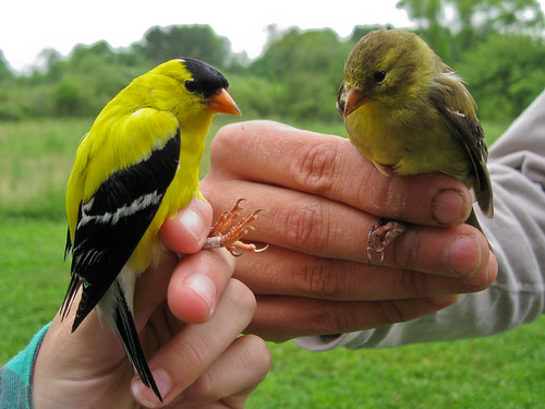 American Goldfinches - male and female