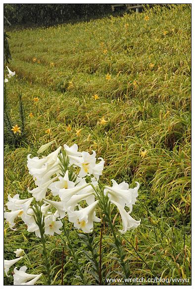 [三芝.旅遊]牧蜂農場.免費入園~金針花期正盛開 @VIVIYU小世界