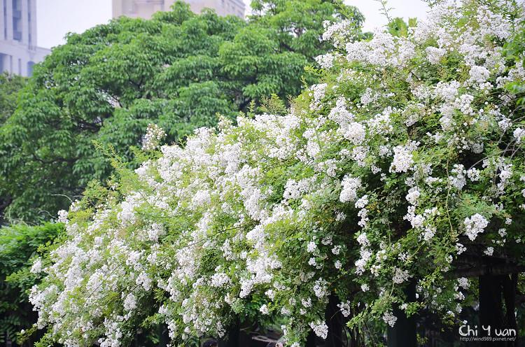 植物園野薔薇04.jpg