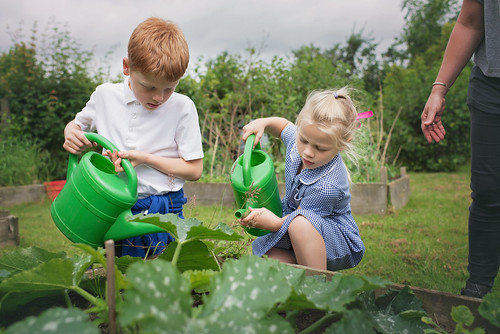 Watering the Courgettes