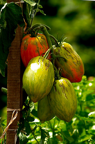 Heirloom Tomatoes On The Vine