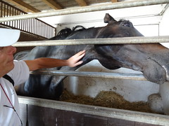 XL loved having a neck rub - the horses at the stud farm are the Nonius breed