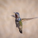 """Green backed hummingbird... • <a style=""""font-size:0.8em;"""" href=""""http://www.flickr.com/photos/41711332@N00/8758947437/"""" target=""""_blank"""">View on Flickr</a>"""