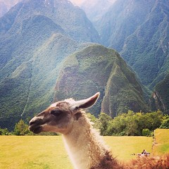 Llama en el Machu Picchu