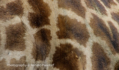 The spots of a giraffe