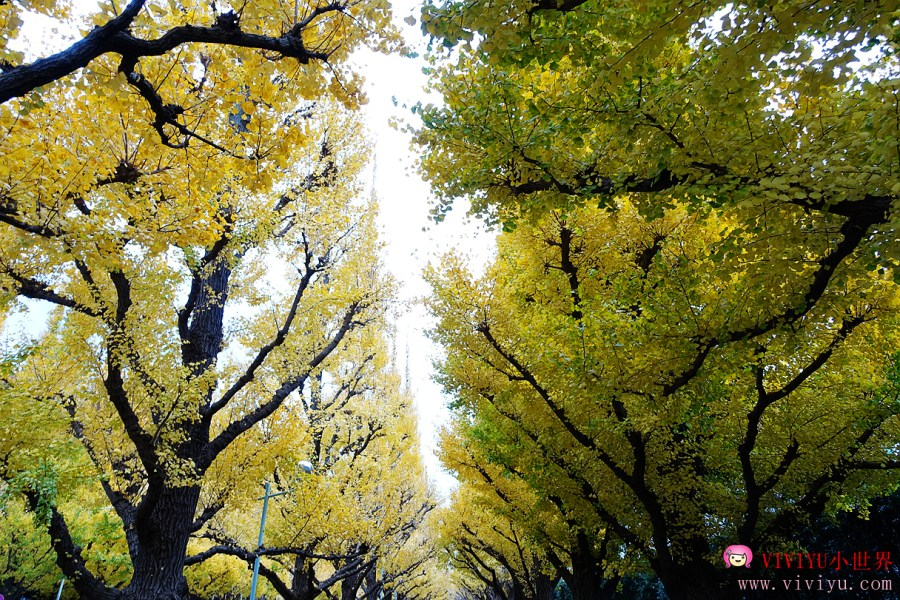 [東京.景點]明治神宮外苑.銀杏並木~每年11月中至12月上旬盛開,黃澄澄的銀杏葉 @VIVIYU小世界
