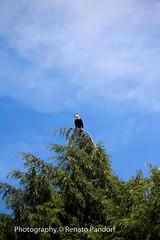 Hawk - I