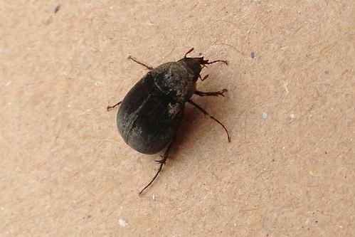 ビロウドコガネ(Velvet Beetle)