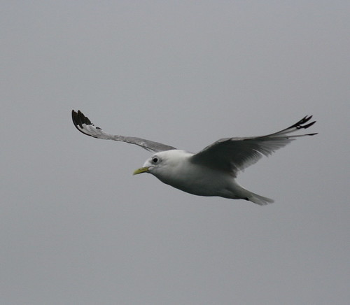 "Kittiwake • <a style=""font-size:0.8em;"" href=""http://www.flickr.com/photos/30837261@N07/10723265406/"" target=""_blank"">View on Flickr</a>"