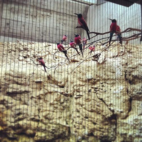 Rote Bienenfresser #ZOOBasel