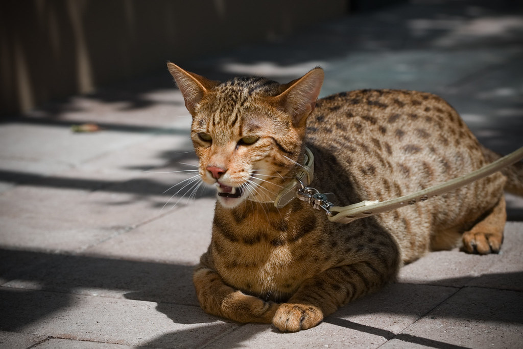 Amazing-Ashera-Cat-Pictures by lemonfilmblog, on Flickr