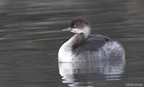 "Black-necked Grebe (A.Davey) • <a style=""font-size:0.8em;"" href=""http://www.flickr.com/photos/30837261@N07/10722974204/"" target=""_blank"">View on Flickr</a>"