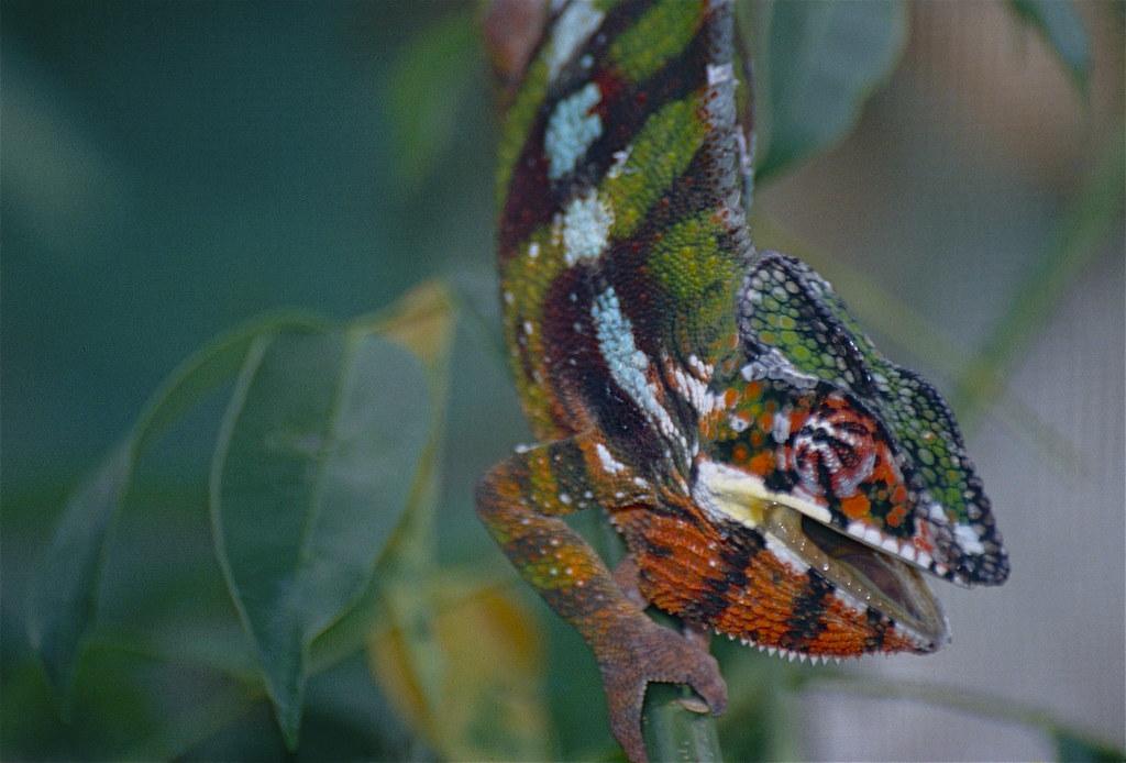 Panther Chameleon (Furcifer pardalis) (c by berniedup, on Flickr