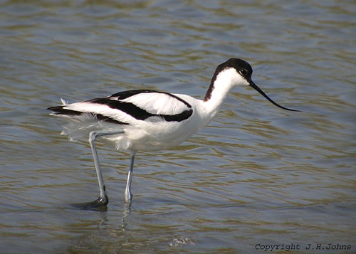 "Avocet (J H Johns) • <a style=""font-size:0.8em;"" href=""http://www.flickr.com/photos/30837261@N07/10723455793/"" target=""_blank"">View on Flickr</a>"