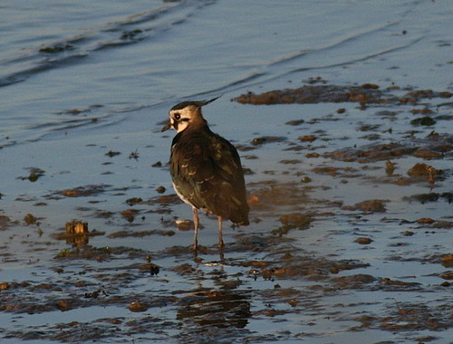 "Lapwing • <a style=""font-size:0.8em;"" href=""http://www.flickr.com/photos/30837261@N07/10723263434/"" target=""_blank"">View on Flickr</a>"