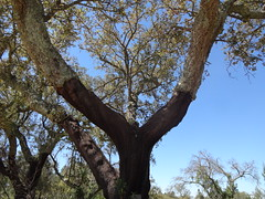 Cork tree stripped of cork bark