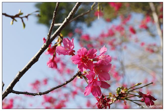 [桃園.旅遊]0元景點旅遊特輯~虎頭山公園.櫻花步道正盛開 @VIVIYU小世界