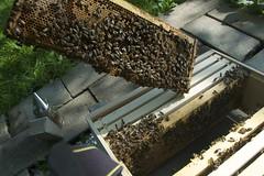 "A frame full of bees. <a style=""margin-left:10px; font-size:0.8em;"" href=""http://www.flickr.com/photos/91024182@N04/14836983892/"" target=""_blank"">@flickr</a>"