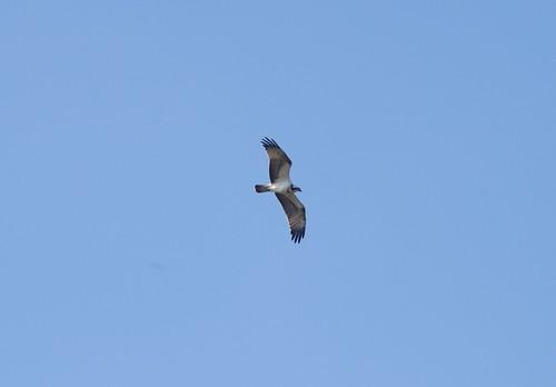 "Osprey, Tresillian River, 08.09.14 (A.Nicholson) • <a style=""font-size:0.8em;"" href=""http://www.flickr.com/photos/30837261@N07/15156273086/"" target=""_blank"">View on Flickr</a>"