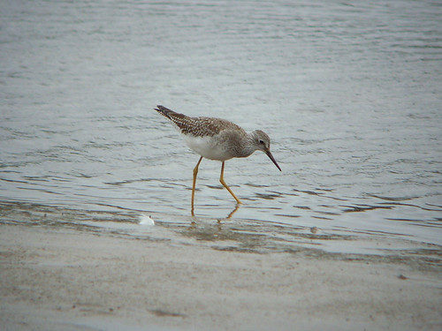 """Lesser Yellowlegs, Hayle, 23.10.14 • <a style=""""font-size:0.8em;"""" href=""""http://www.flickr.com/photos/30837261@N07/15615221892/"""" target=""""_blank"""">View on Flickr</a>"""