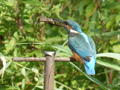 "Kingfisher catches a fish Sept2014 (Polly) • <a style=""font-size:0.8em;"" href=""http://www.flickr.com/photos/60890513@N06/15020762753/"" target=""_blank"">View on Flickr</a>"