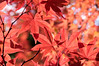 Photo:Maple Leaves By