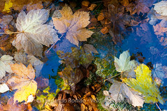 Autumn floating leaves composition