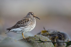 Purple Sandpiper | skärsnäppa | Calidris maritima | Iceland | May/June 2013