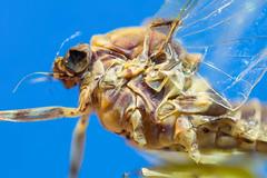 dry-fly closeup