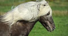 """Die Mähne. Die Mähnen. Das Pferd hat eine lange Mähne. • <a style=""""font-size:0.8em;"""" href=""""http://www.flickr.com/photos/42554185@N00/29916037076/"""" target=""""_blank"""">View on Flickr</a>"""