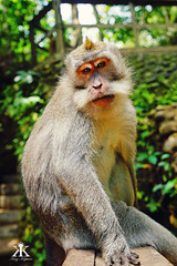 Bali 2015, Monkey Forest, monkey portrait 2 WM