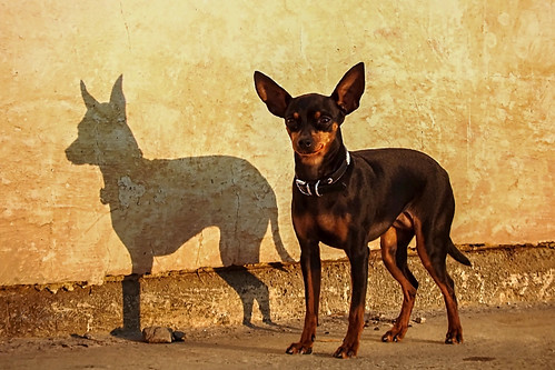 Smiling Chihuahua Mosolygós csivava