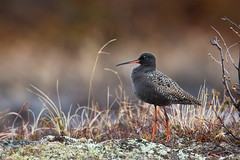 Spotted Redshank in breeding habitat