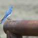 "Mountain_bluebird_Sialia_currucoides_4 • <a style=""font-size:0.8em;"" href=""http://www.flickr.com/photos/138604476@N05/23818593405/"" target=""_blank"">View on Flickr</a>"