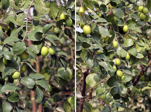 vietnamese apples