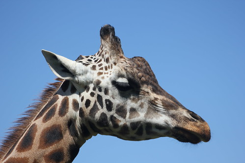 2011-02-26 Mogo Zoo Giraffe