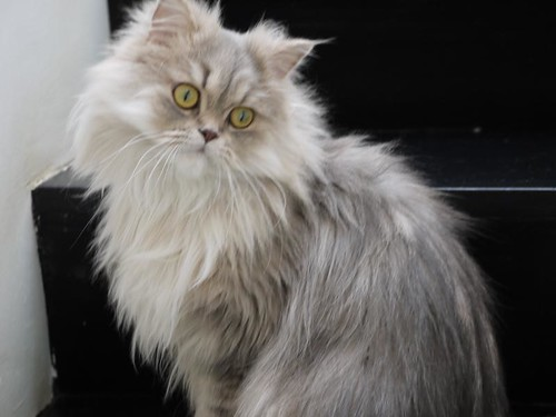 Chilerito - our persian cat
