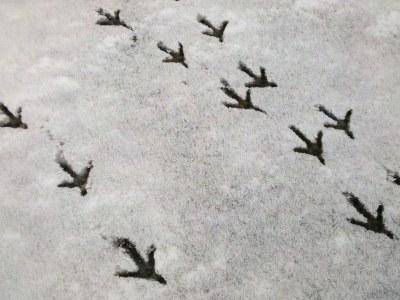 Peacock tracks