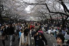 花見 上野公園. Hanami, Ueno park. Tokyo Japan 東京 日本