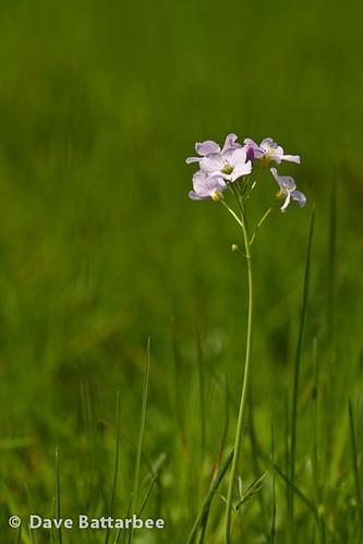 Cuckoo Flower - Cardamine pratensis