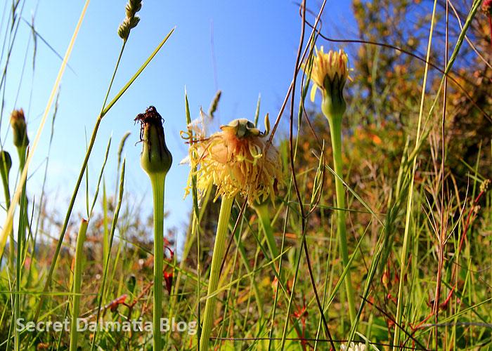 Vlasnati zmijak | Villous viper grass (Scorzonera villosa)
