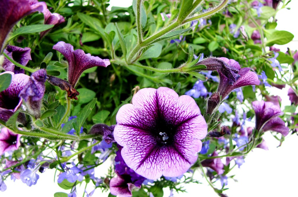 may7purpleflower