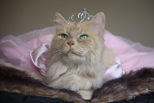 orange cat in tiara princess dress