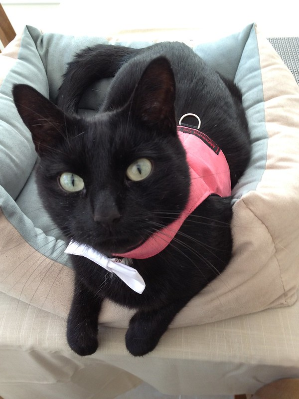 Eclipse in his new cat harness and bow tie!