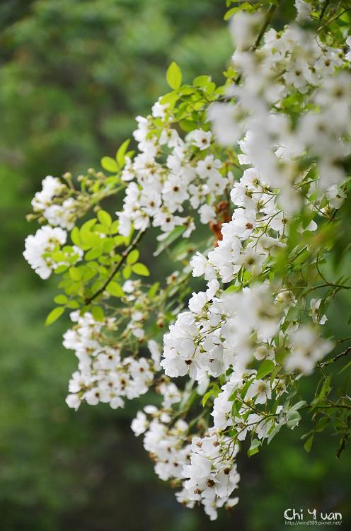 植物園野薔薇12.jpg