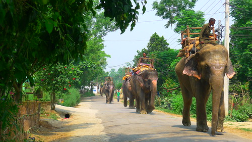 Elephants on their way to the river for bath time