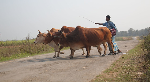 Herding bulls in Nagaland, India