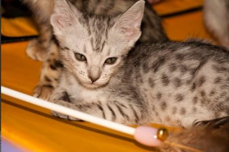 Ocicats - Ocicat kittens