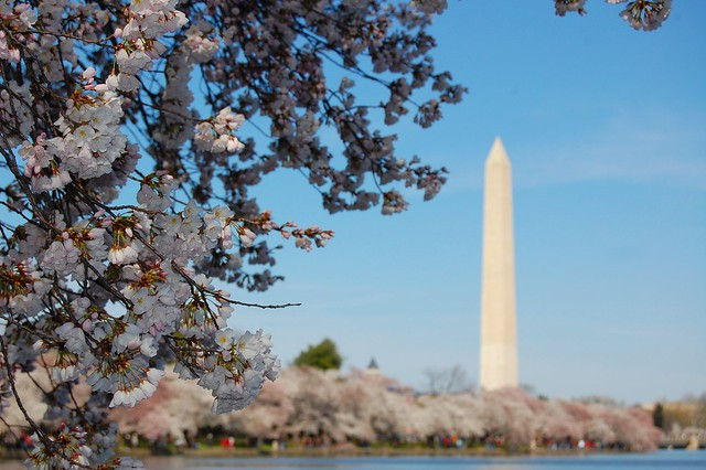 cherry blossoms + Washington Monument