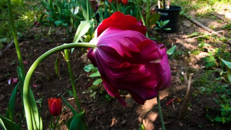 Last tulips of the season